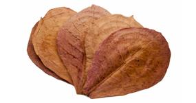Mandlovník mořský - Catappa leaves