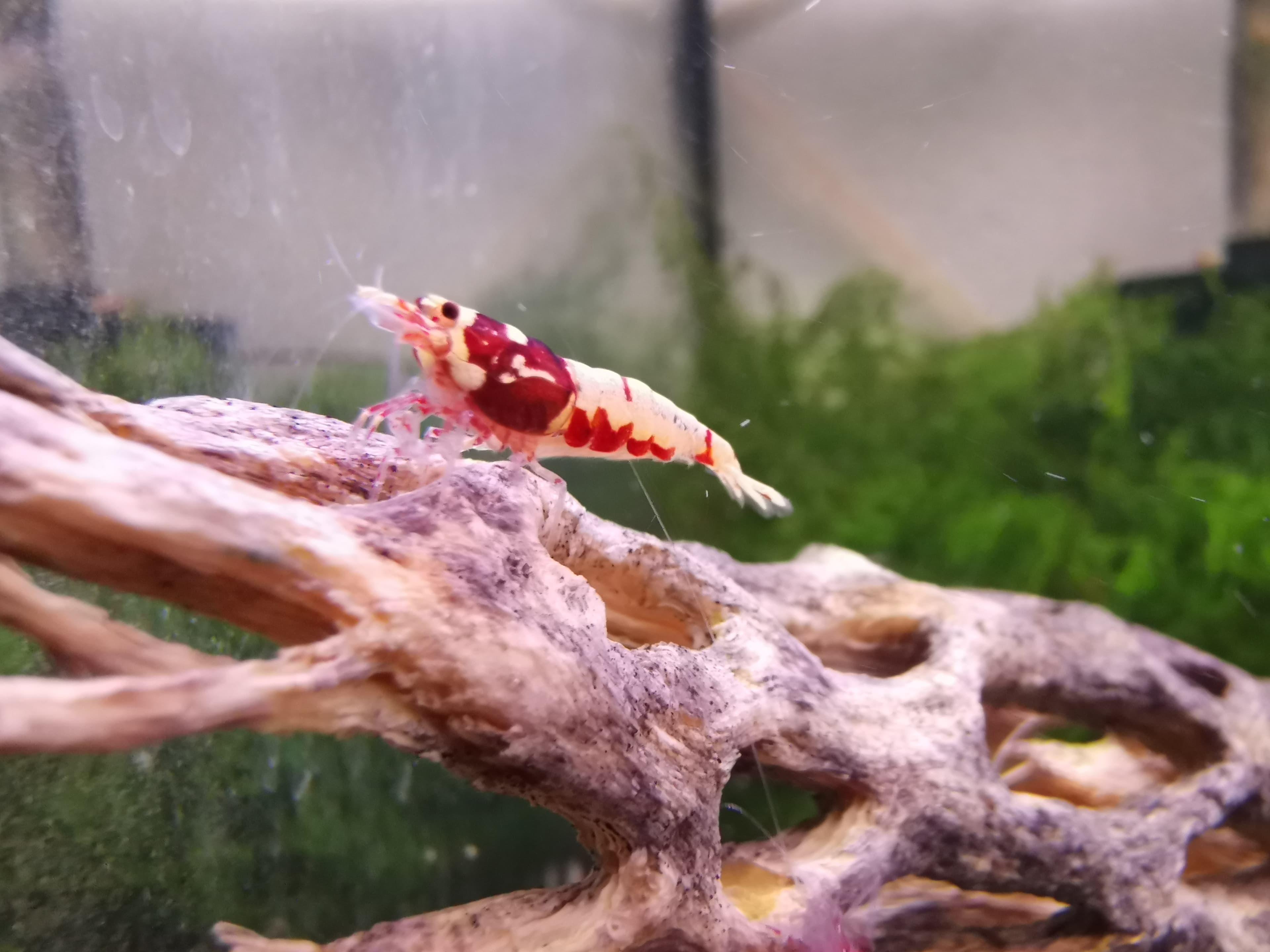Proč krevety přicházejí o vajíčka